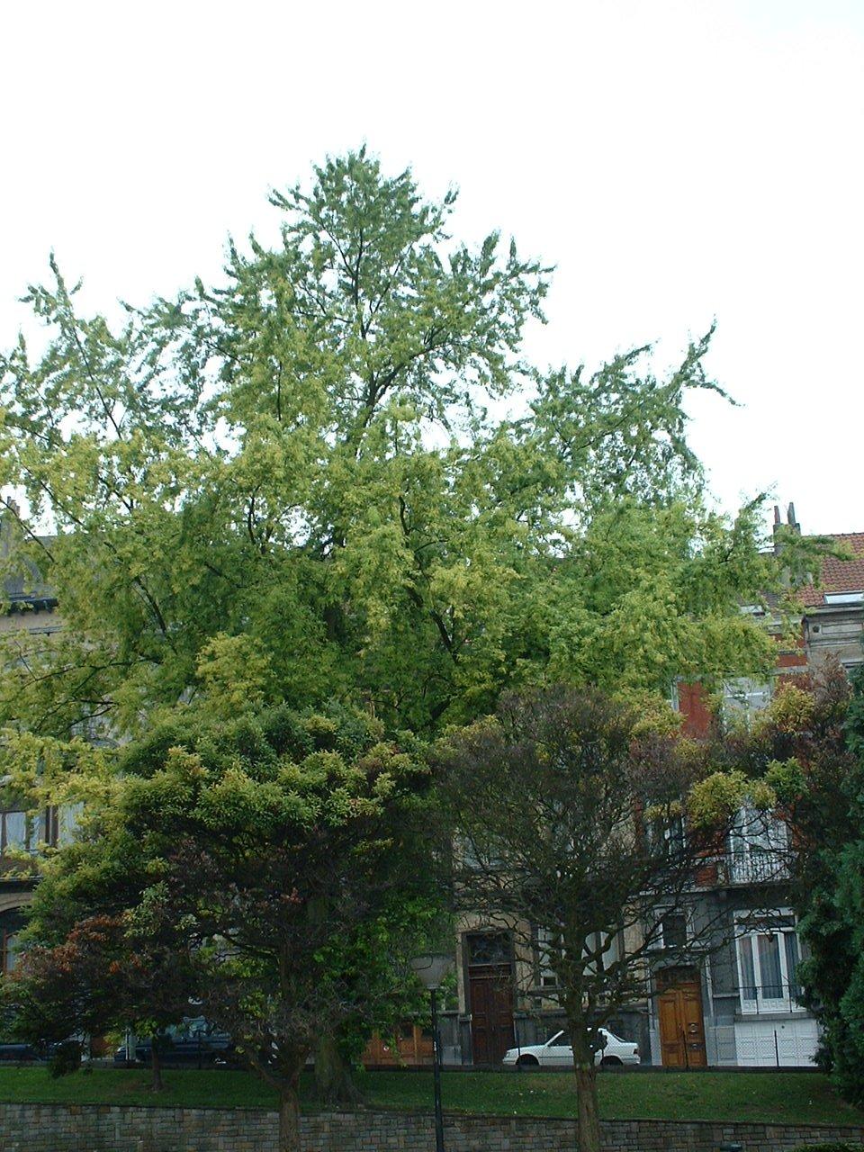 Acer saccharinum var. laciniatum – Saint-Gilles, Place Louis Morichar –  05 Août 2002
