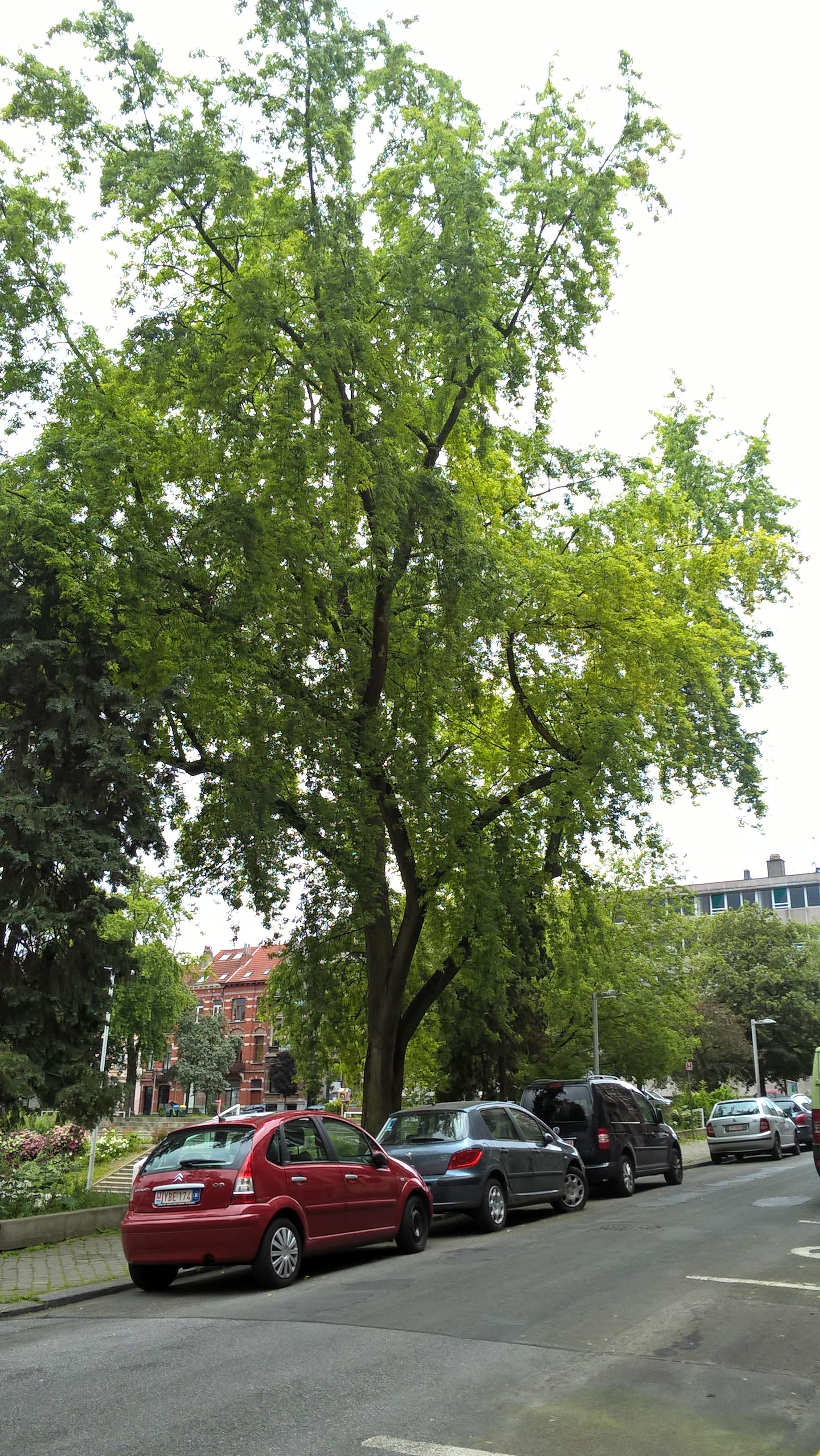 Acer saccharinum var. laciniatum,