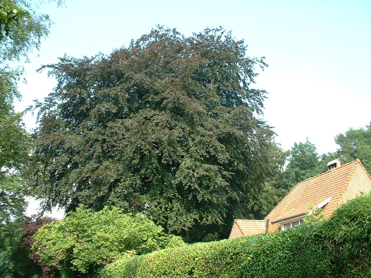 Hêtre pourpre – Watermael-Boitsfort, Drève des Tumuli, 7 –  07 Août 2002