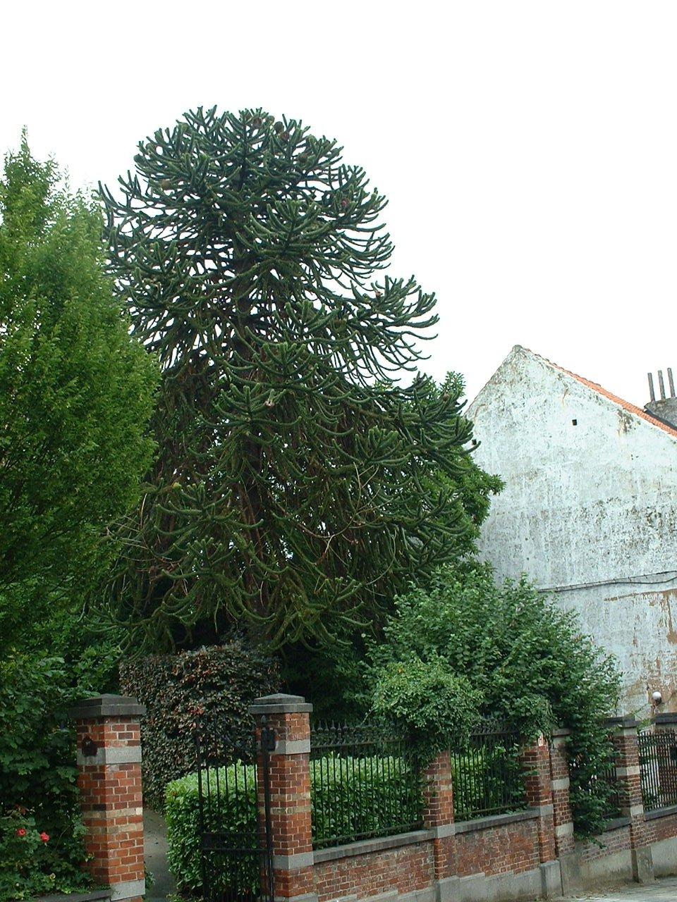 Araucaria du Chili – Watermael-Boitsfort, Drève du Duc, 101 –  07 Août 2002