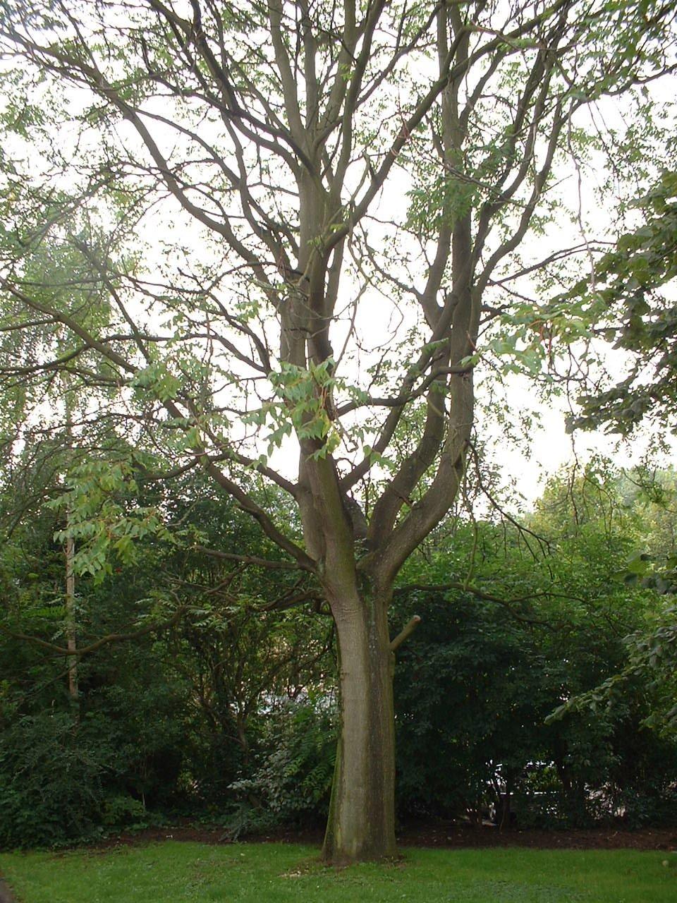 Hemelboom – St.- Lambrechts - Woluwe, Plejadenlaan, 56 –  09 August 2002