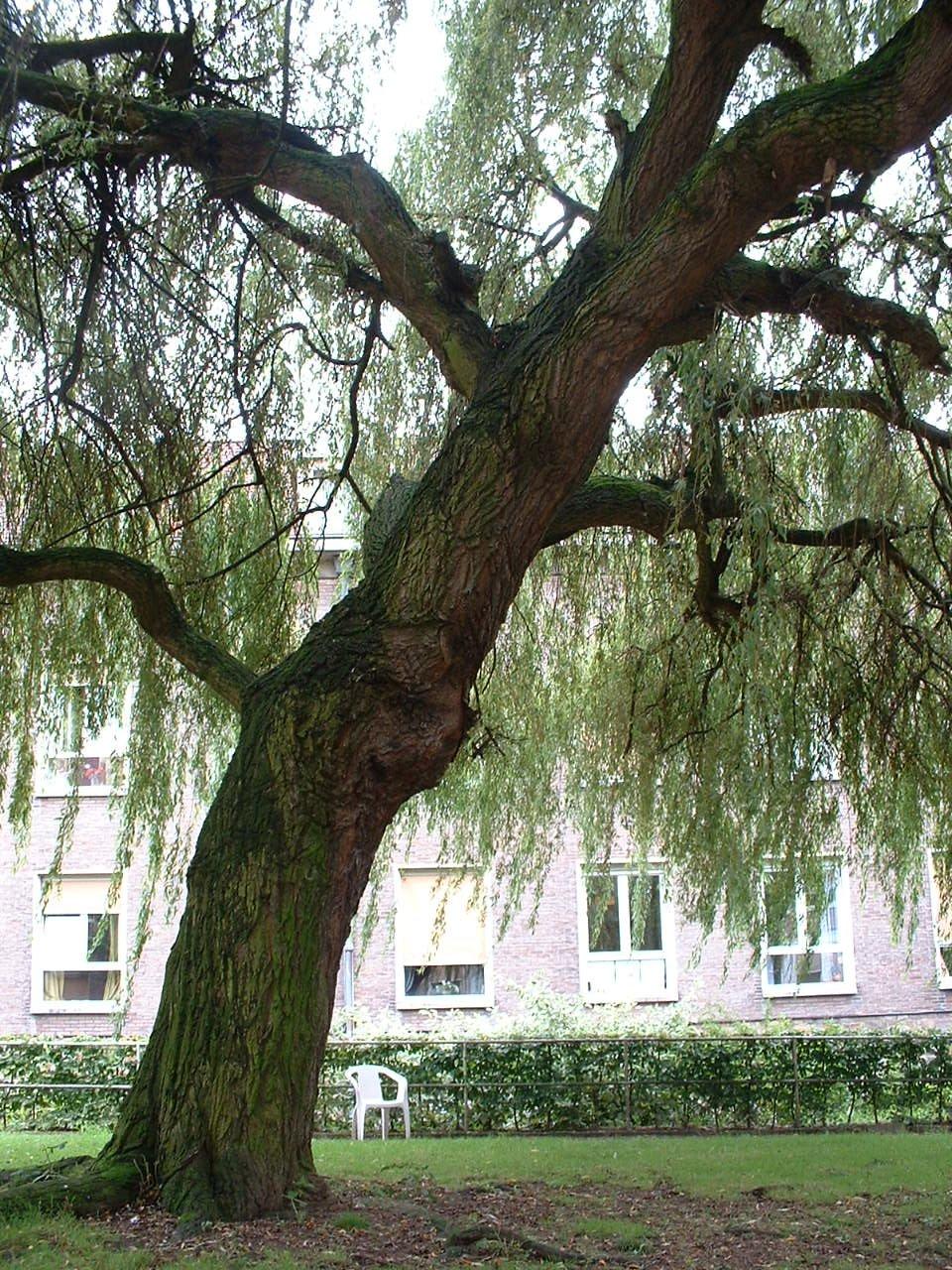 Saule pleureur – Woluwé-Saint-Lambert, Rue de la Charrette, 29 –  09 Août 2002