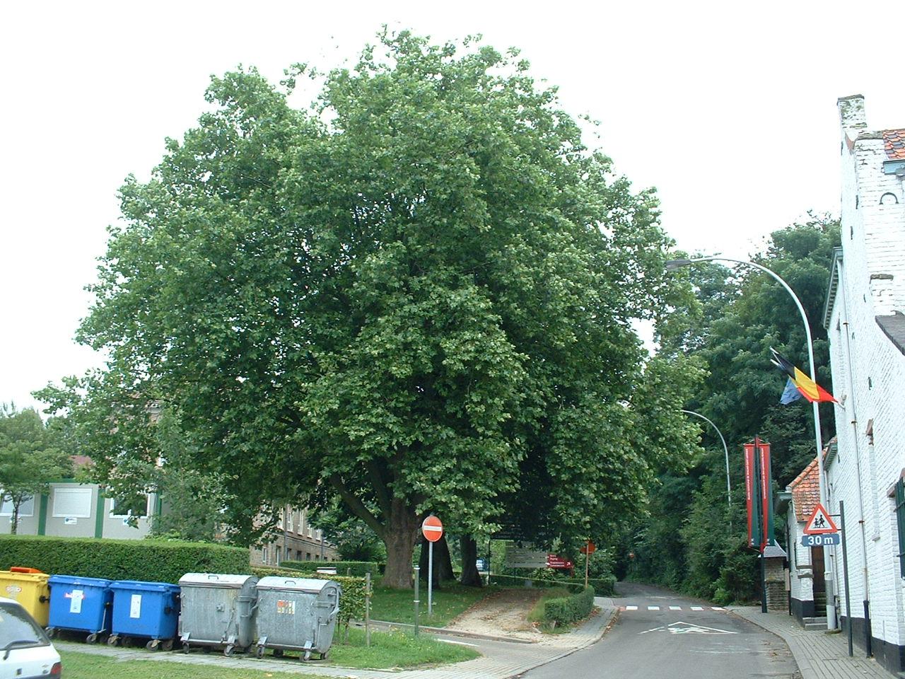 Platane à feuille d'érable – Woluwé-Saint-Lambert, Rue de la Charrette –  09 Août 2002