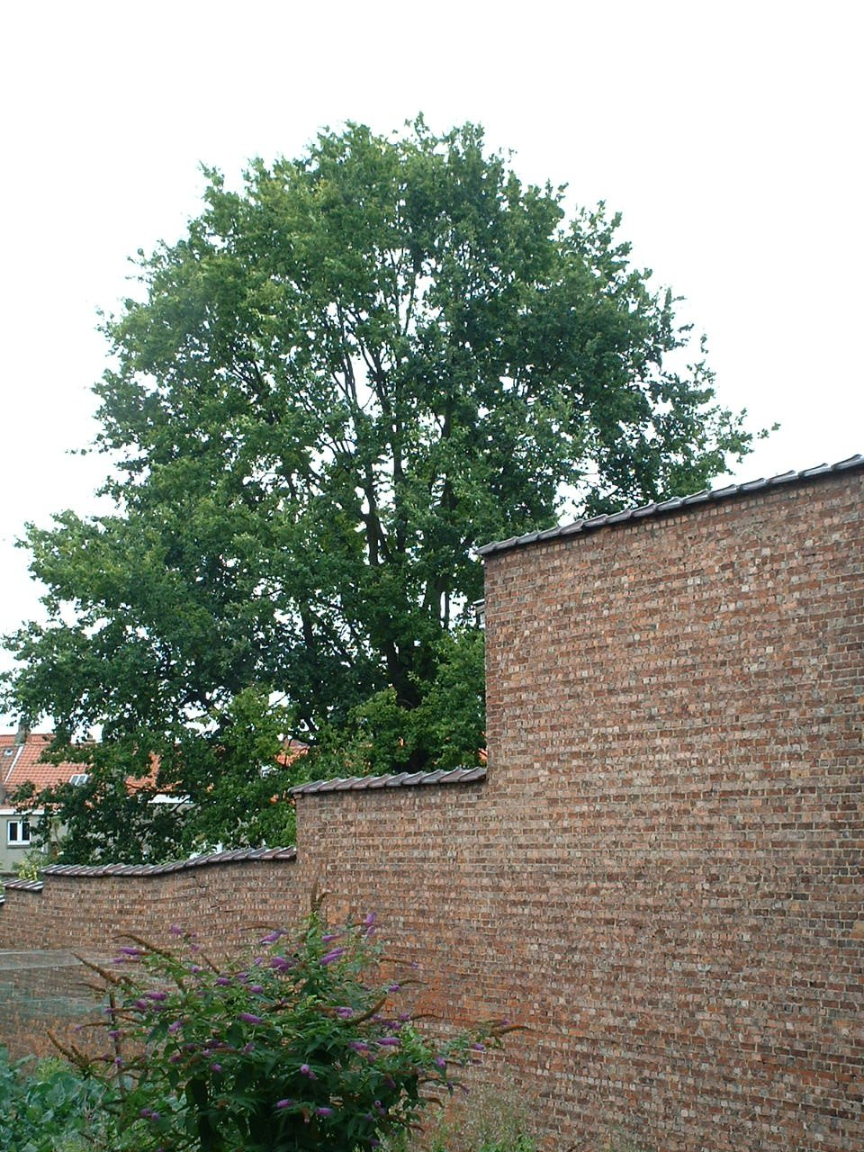 Quercus sp – Woluwé-Saint-Lambert, Avenue de Broqueville, 249 –  09 Août 2002