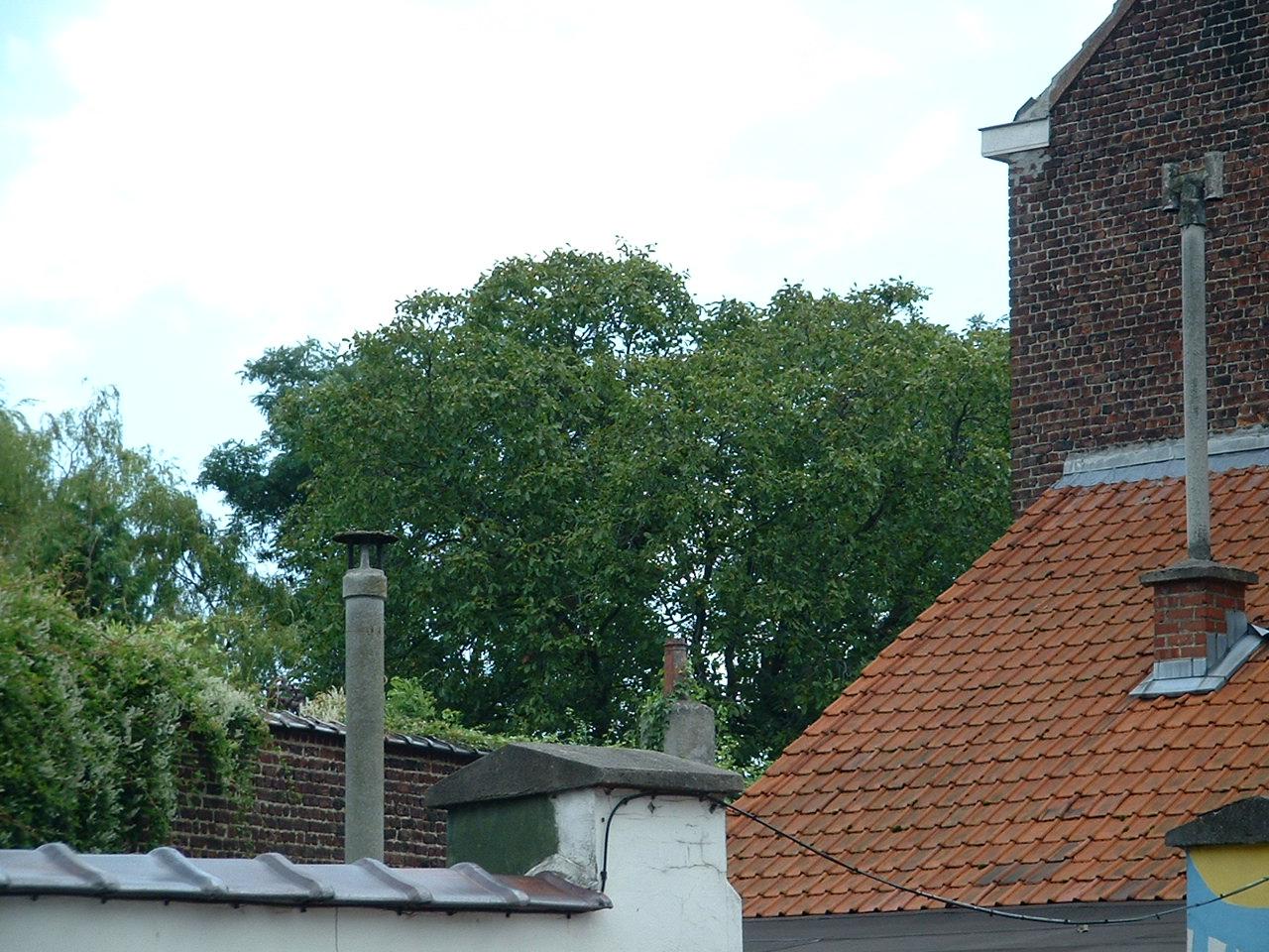 Noyer royal – Woluwé-Saint-Lambert, Rue Vervloesem, 40 –  12 Août 2002
