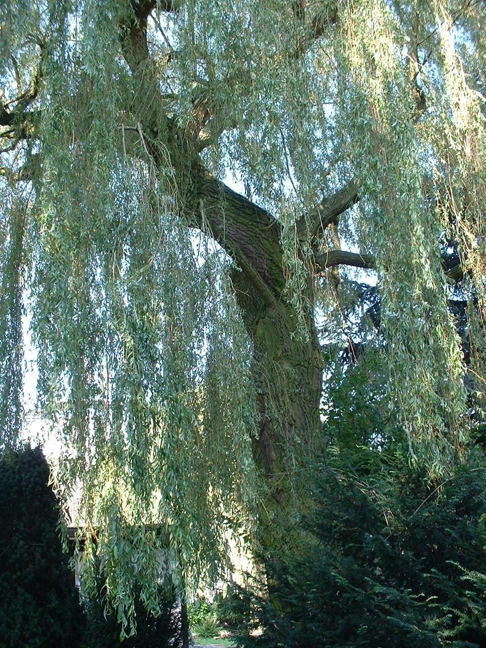 Saule pleureur – Evere, Avenue des Communautés, 3 –  13 Août 2002