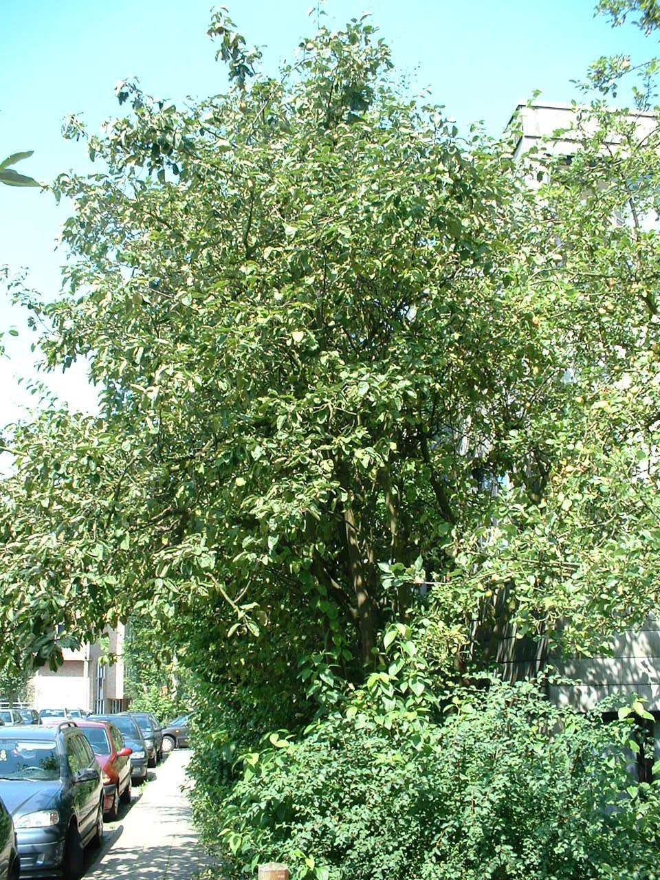 Kweepeer – St.- Lambrechts - Woluwe, Ideaallaan, 9 –  13 August 2002