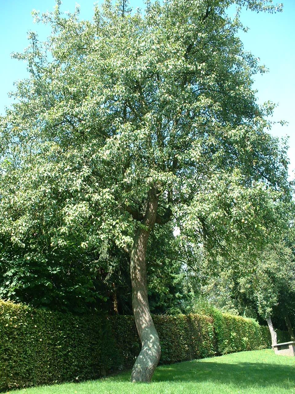 Poirier cultivé – Woluwé-Saint-Lambert, Clos Prométhée –  13 Août 2002