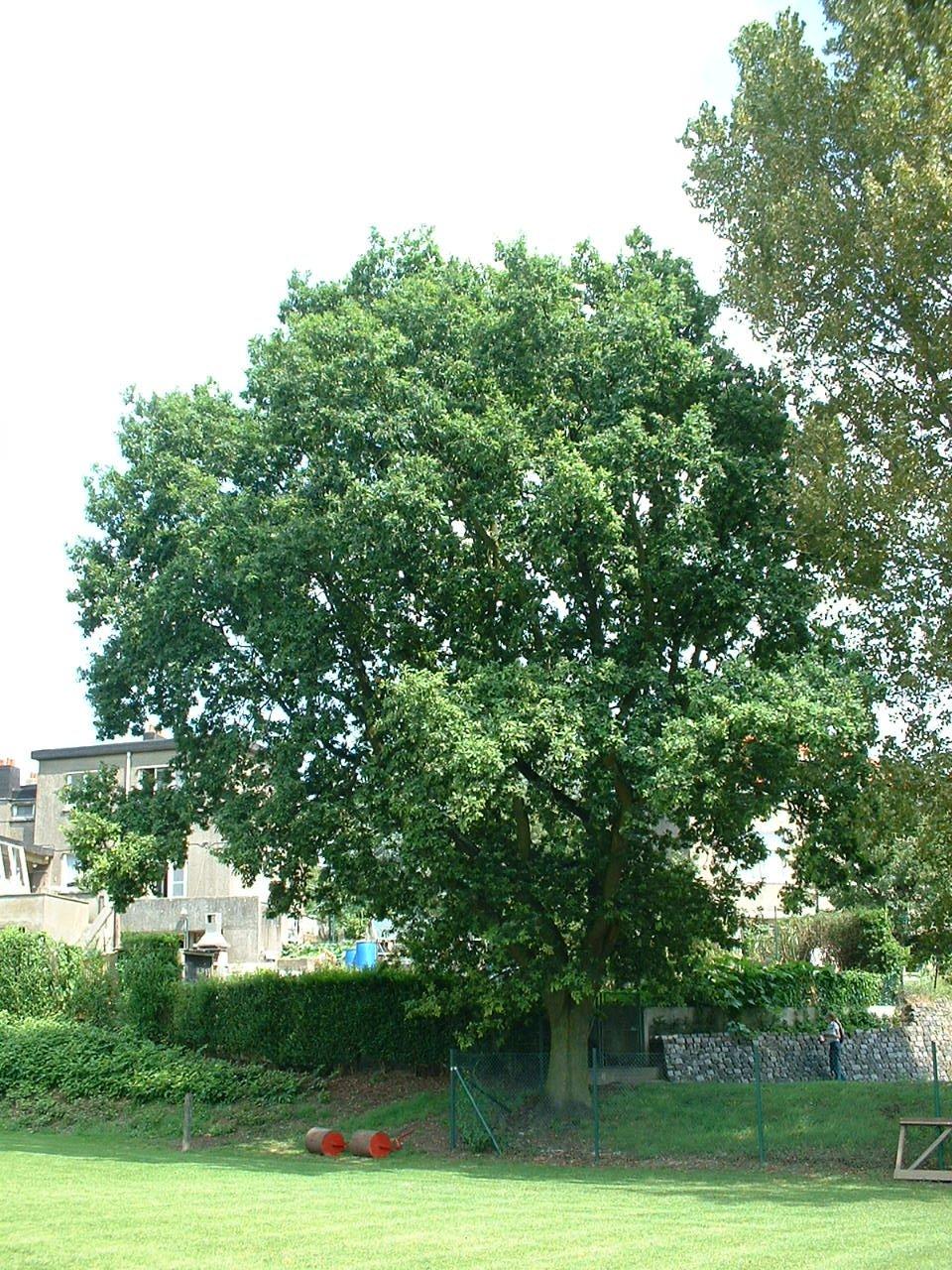 Chêne pédonculé – Woluwé-Saint-Lambert, Avenue de la Spirale –  13 Août 2002