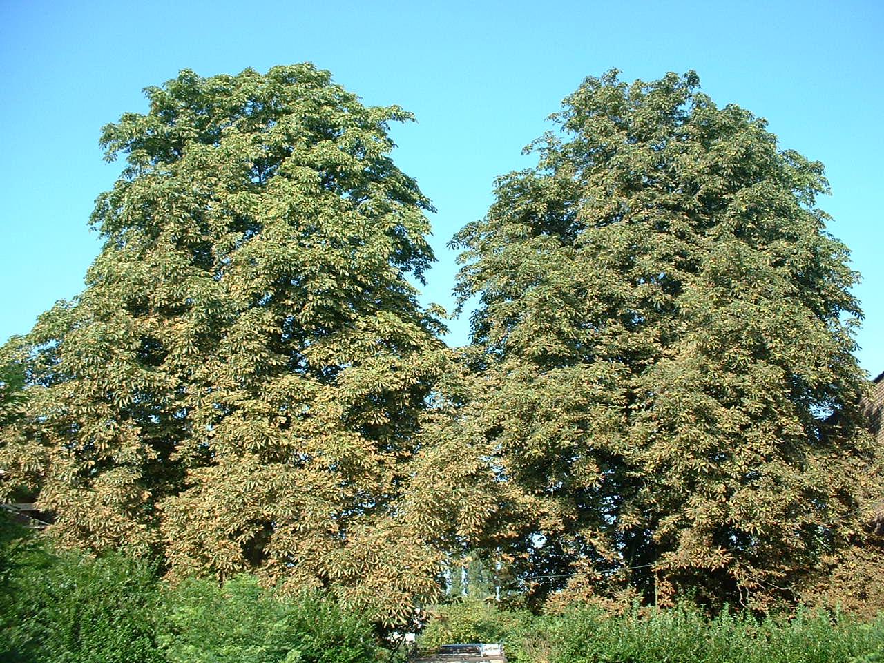 Marronnier commun – Woluwé-Saint-Lambert, Avenue Jean Laudy, 32 –  14 Août 2002