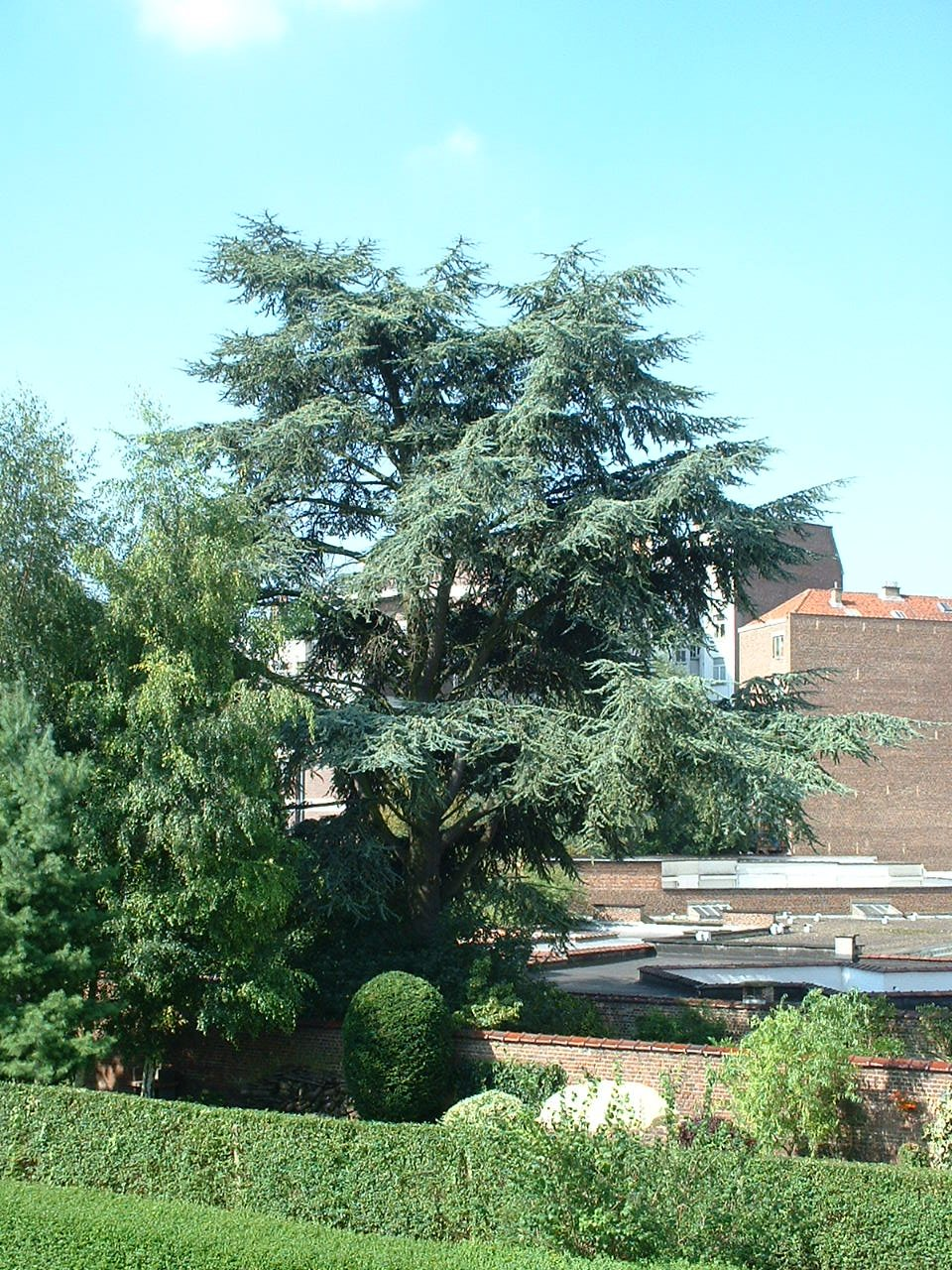 Cèdre bleu de l'Atlas – Woluwé-Saint-Lambert, Avenue A.J. Slegers, 393 –  14 Août 2002