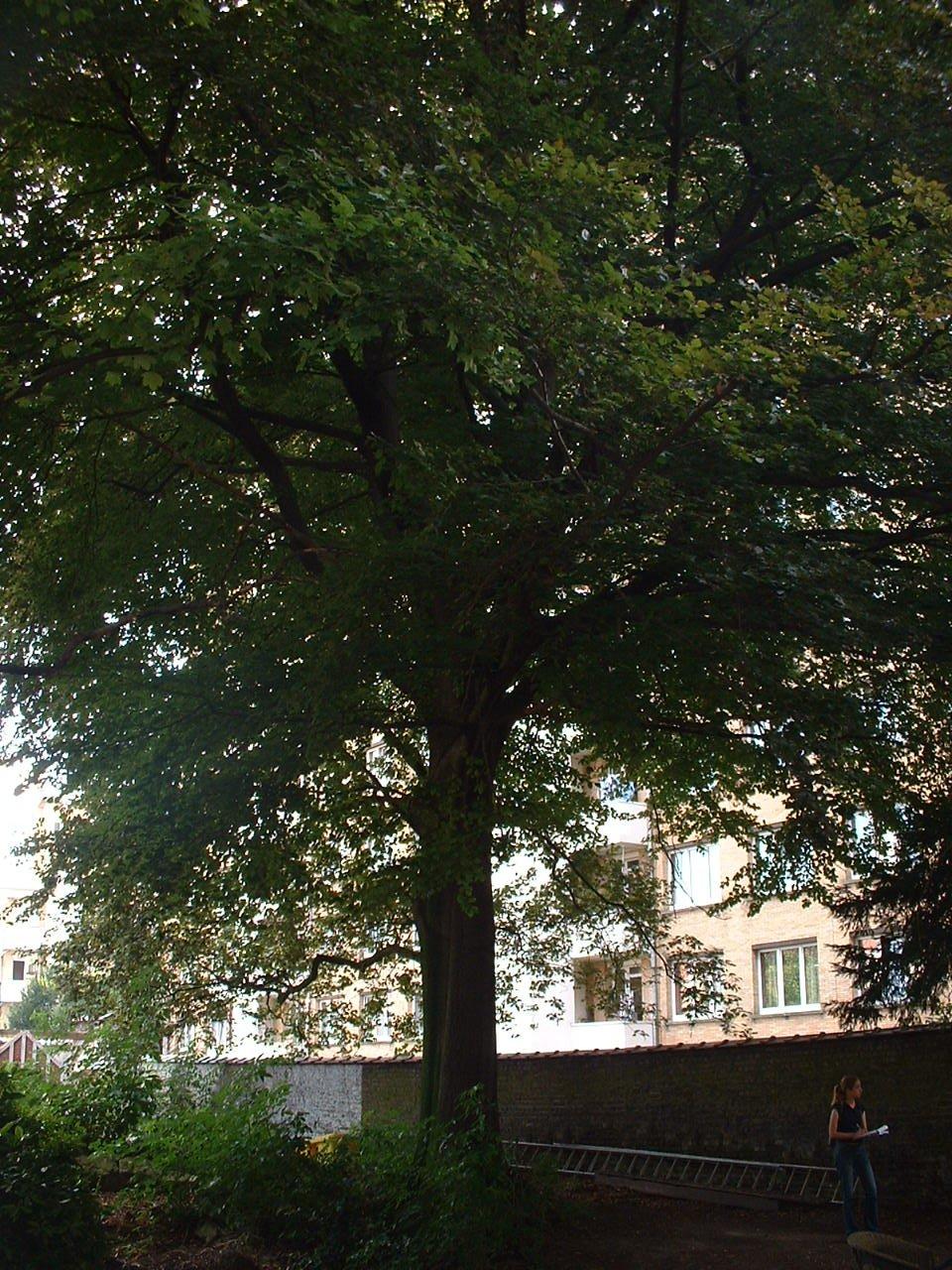 Hêtre d'Europe – Woluwé-Saint-Lambert, Rue du Duc, 133 –  14 Août 2002