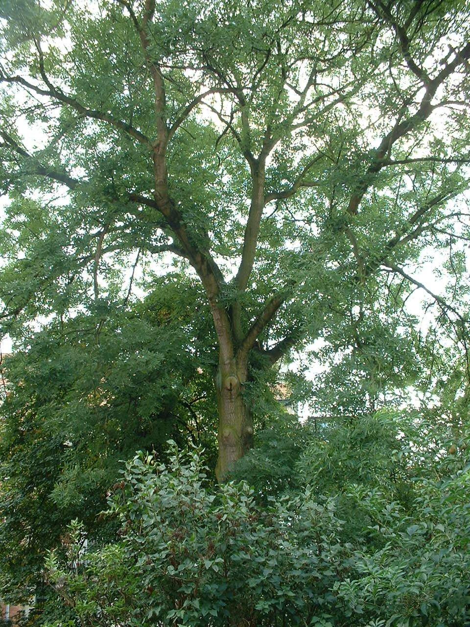 Frêne commun – Woluwé-Saint-Lambert, Avenue Marie-José, 153 –  14 Août 2002