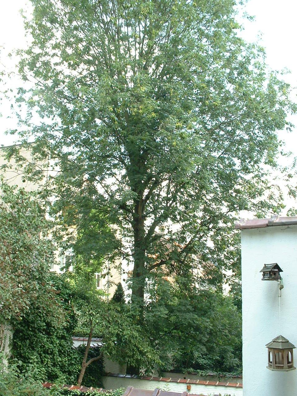 Frêne commun – Woluwé-Saint-Lambert, Avenue Marie-José, 162 –  14 Août 2002