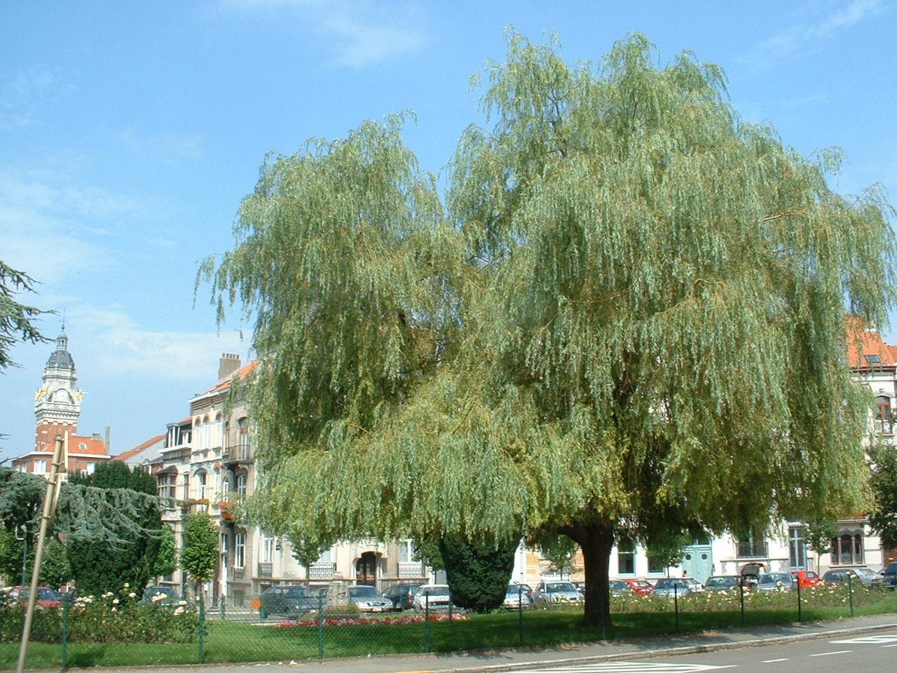Saule pleureur – Saint-Gilles, Place Antoine Delporte –  19 Août 2002