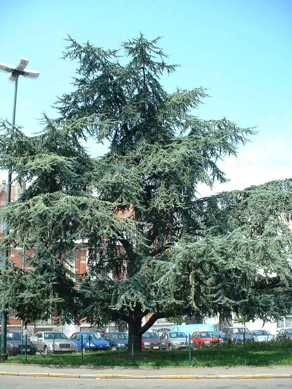 Cèdre bleu de l'Atlas – Saint-Gilles, Place Antoine Delporte –  19 Août 2002