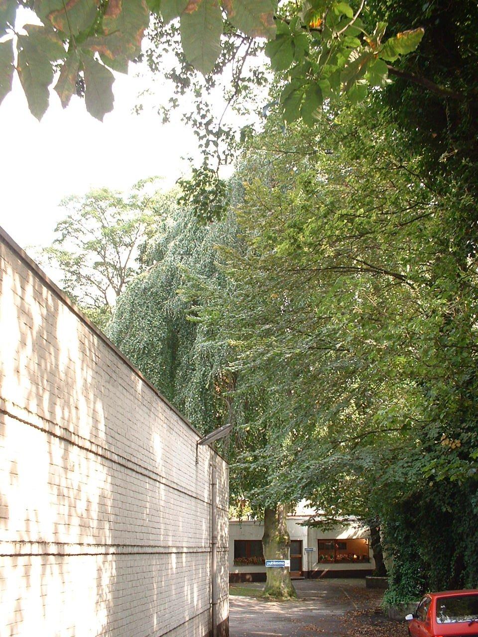 Hêtre pleureur – Saint-Gilles, Avenue Brugmann, 24 –  19 Août 2002