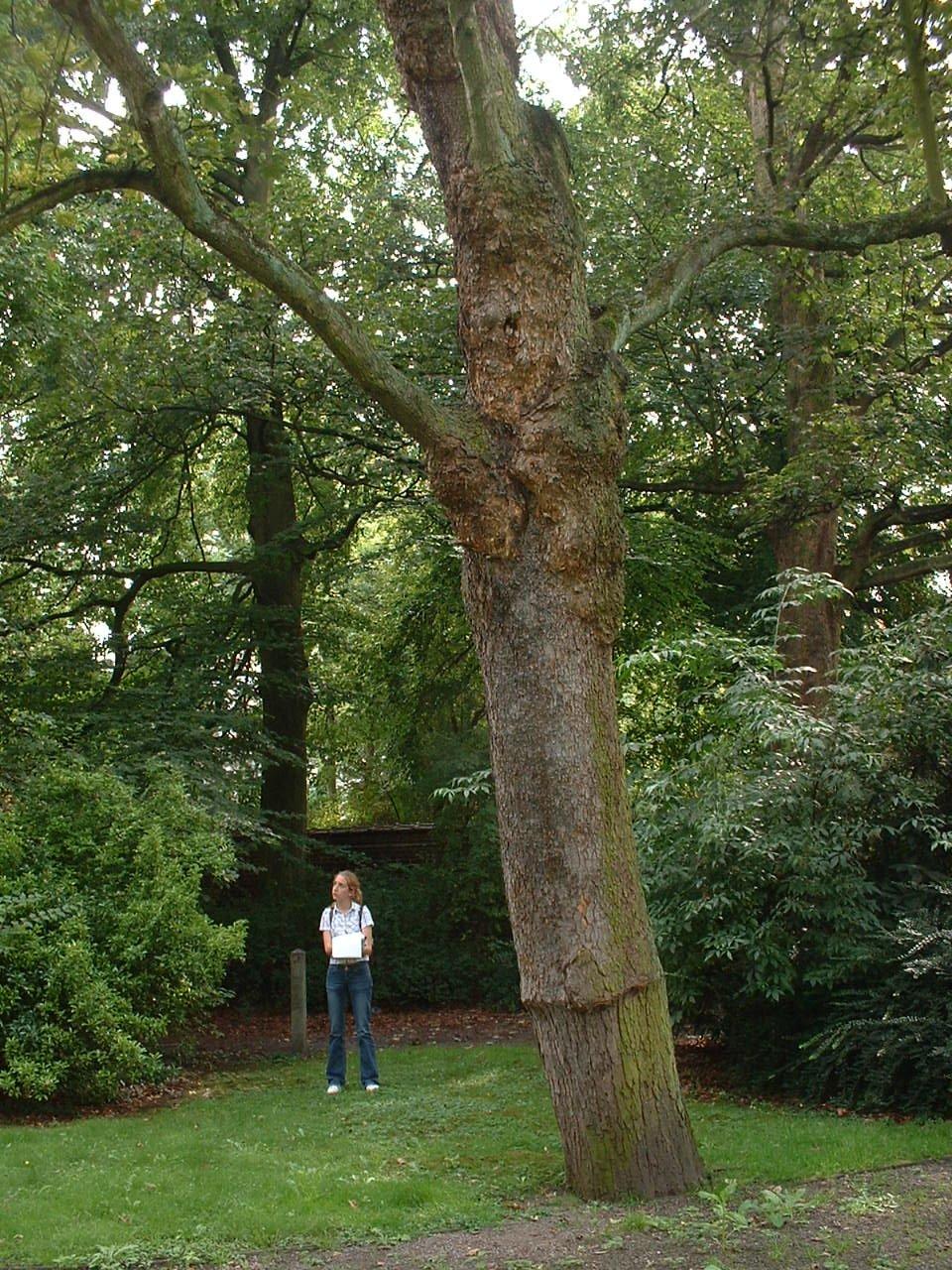 Acer pseudoplatanus f. aureovariegatum – Saint-Gilles, Avenue Brugmann, 29 –  19 Août 2002