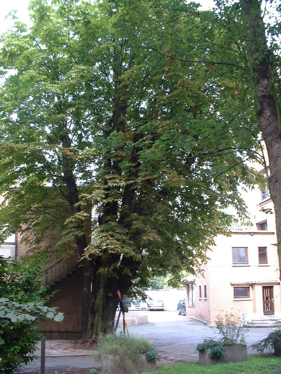 Marronnier commun – Saint-Gilles, Avenue Brugmann, 29 –  19 Août 2002