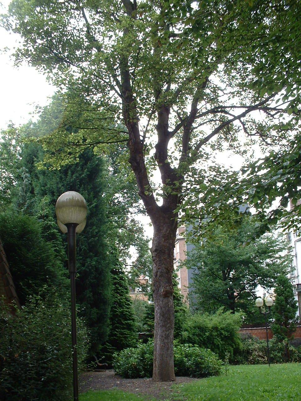 Acer pseudoplatanus f. aureovariegatum – Saint-Gilles, Avenue de la Jonction –  20 Août 2002