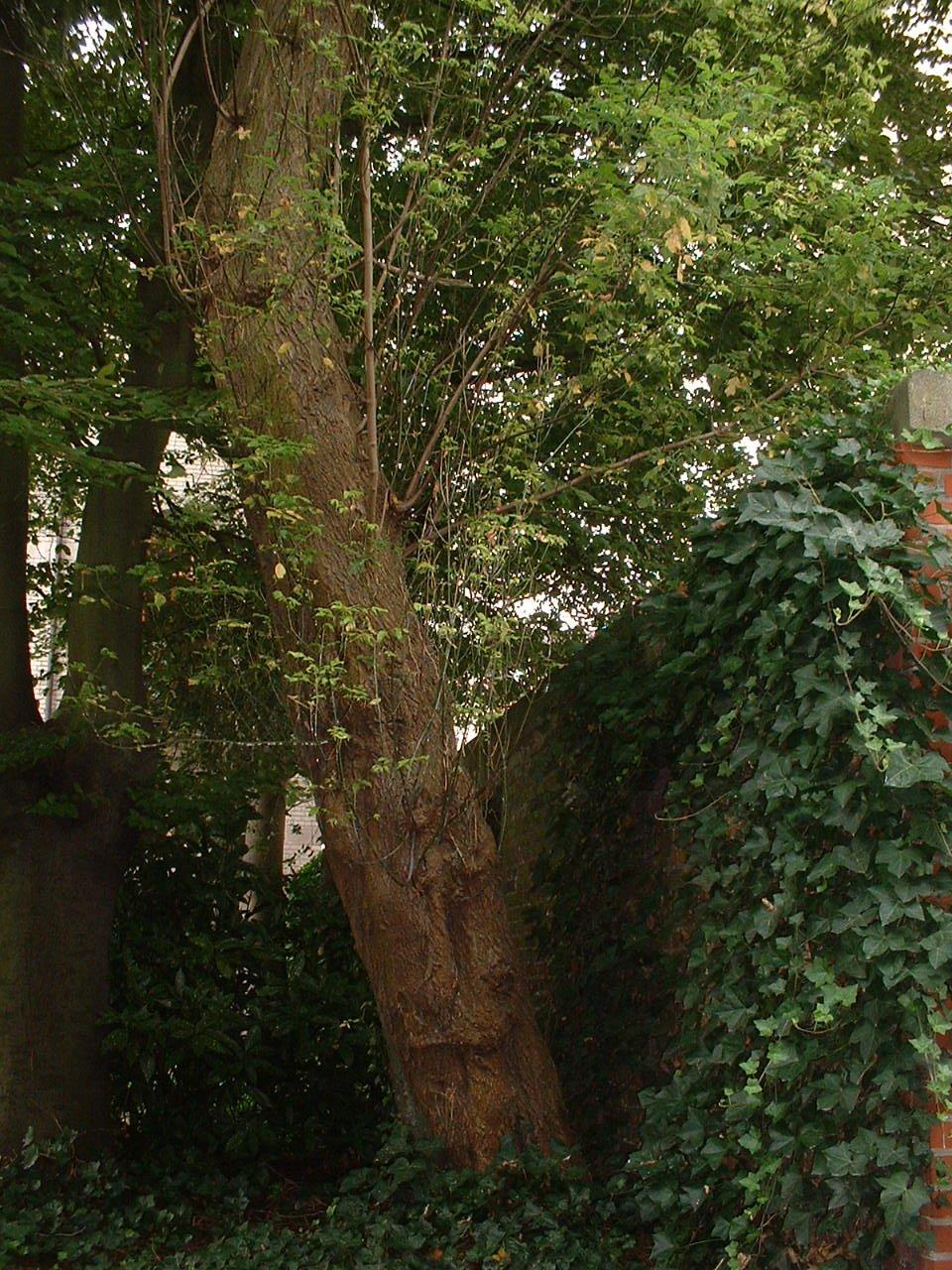 Erable à feuilles de frêne – Saint-Gilles, Avenue de la Jonction –  20 Août 2002
