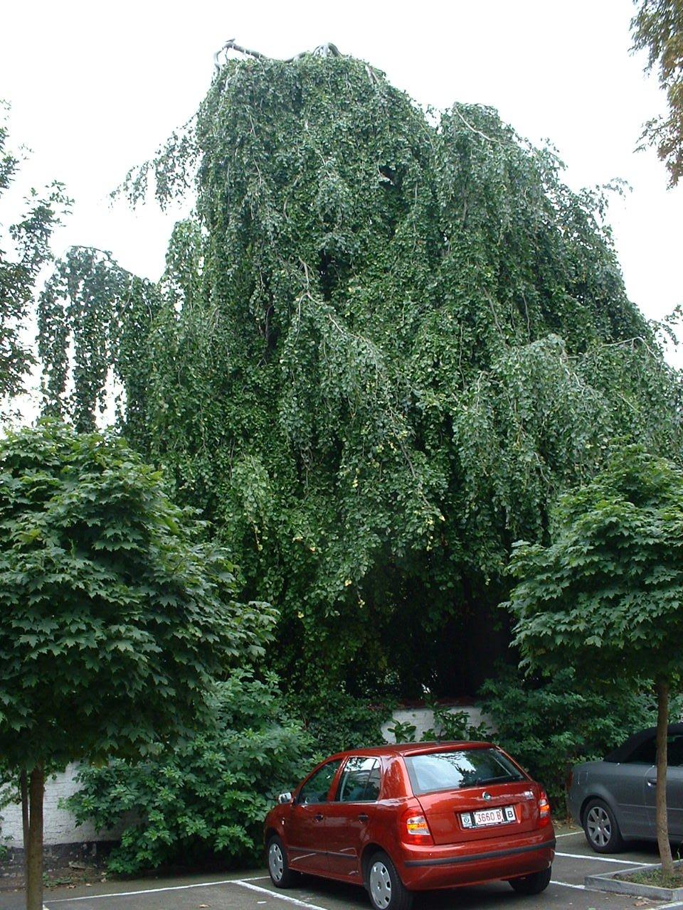 Hêtre pleureur – Saint-Gilles, Rue Américaine, 17 –  20 Août 2002