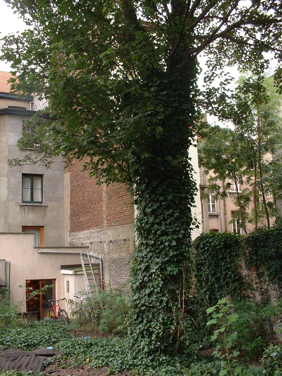 Erable sycomore – Saint-Gilles, Chaussée de Charleroi, 199 –  20 Août 2002