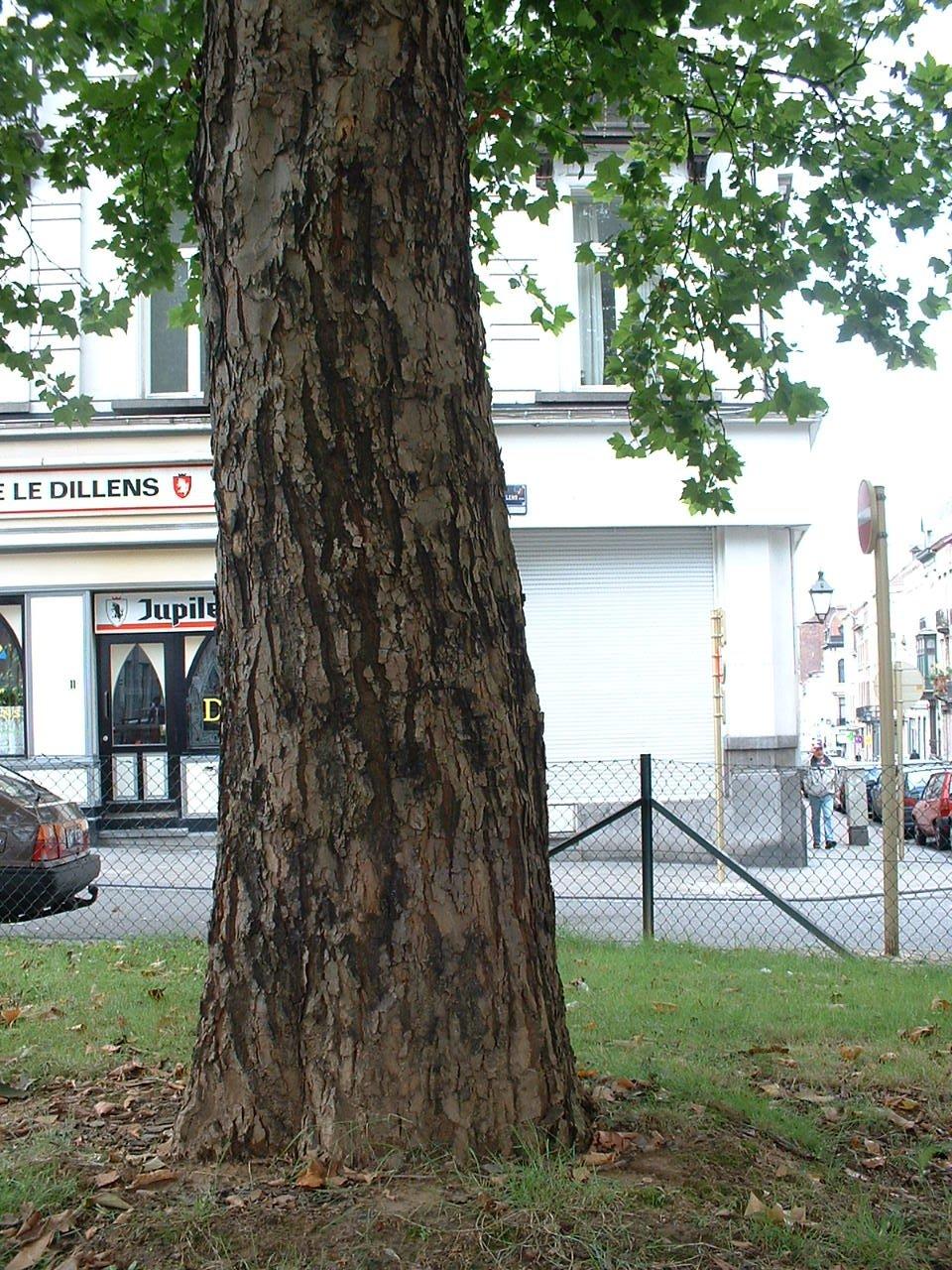 Platane à feuille d'érable – Saint-Gilles, Place Julien Dillens –  22 Août 2002