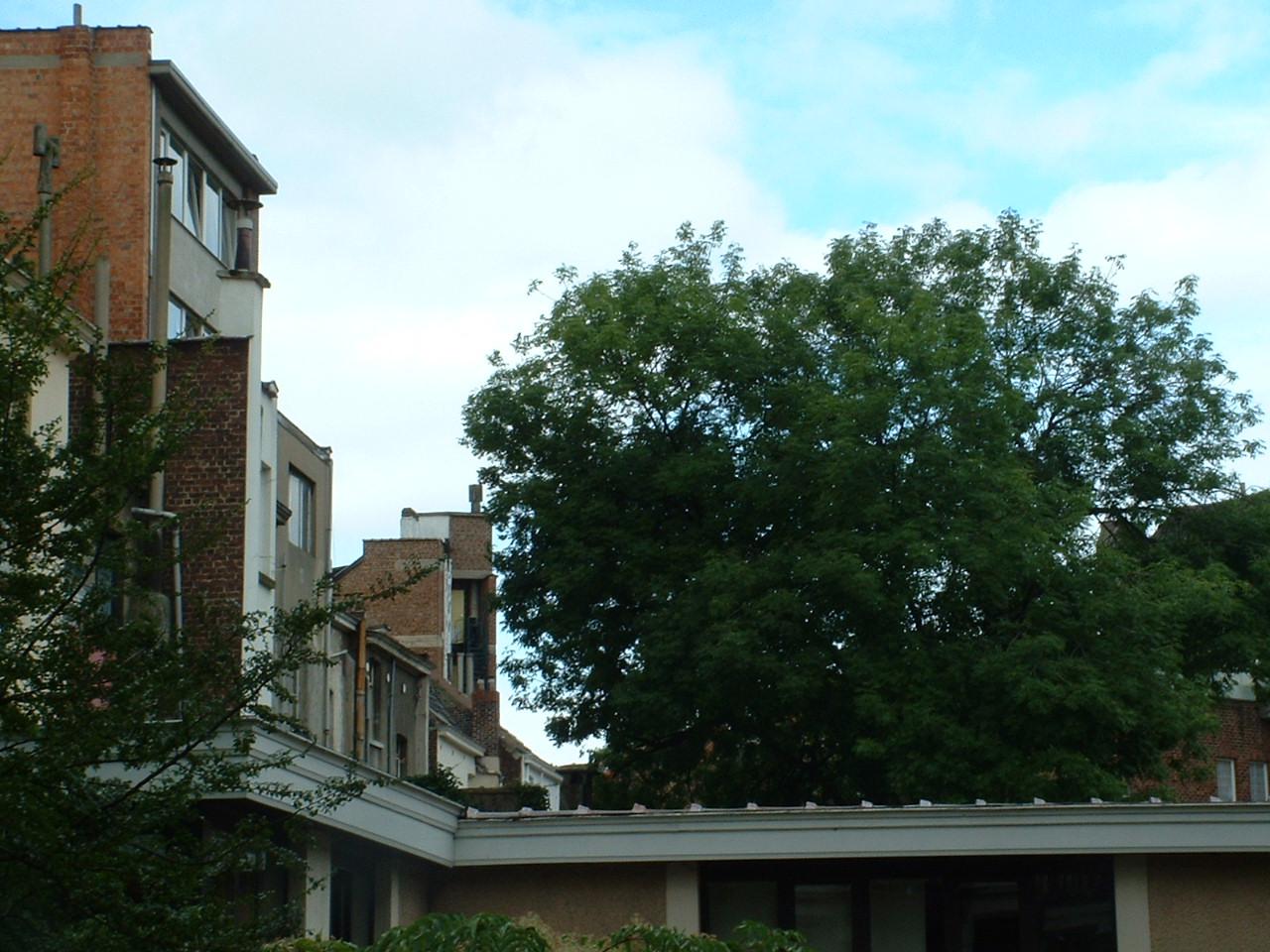 Frêne commun – Saint-Gilles, Rue Berckmans, 121 –  22 Août 2002