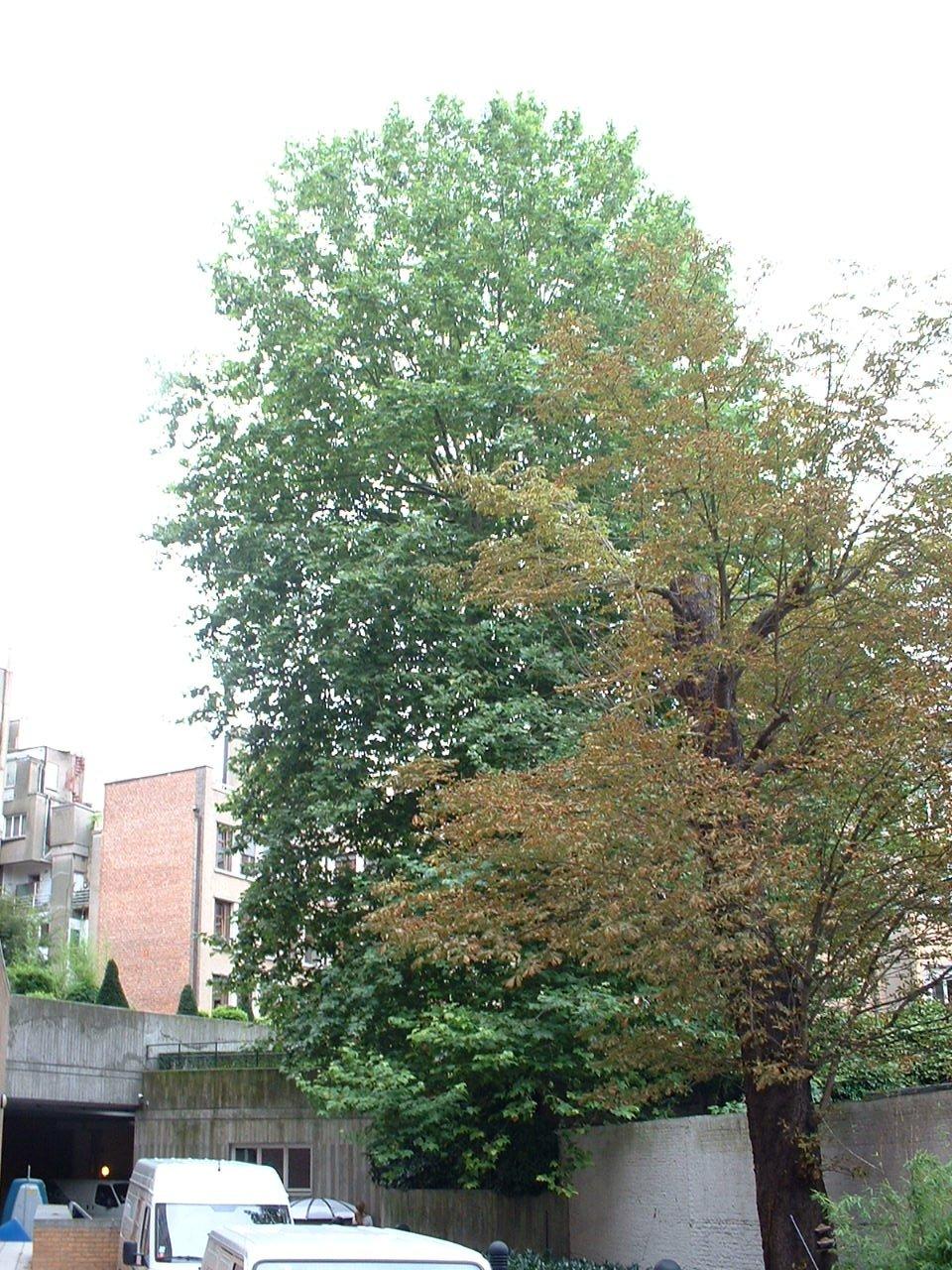 Platane à feuille d'érable – Saint-Gilles, Rue de la Bonté, 5 –  22 Août 2002