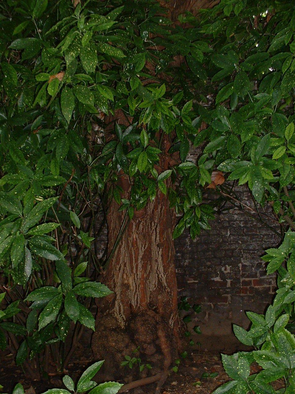 Erable à feuilles de frêne – Saint-Gilles, Rue Bosquet, 14 –  22 Août 2002