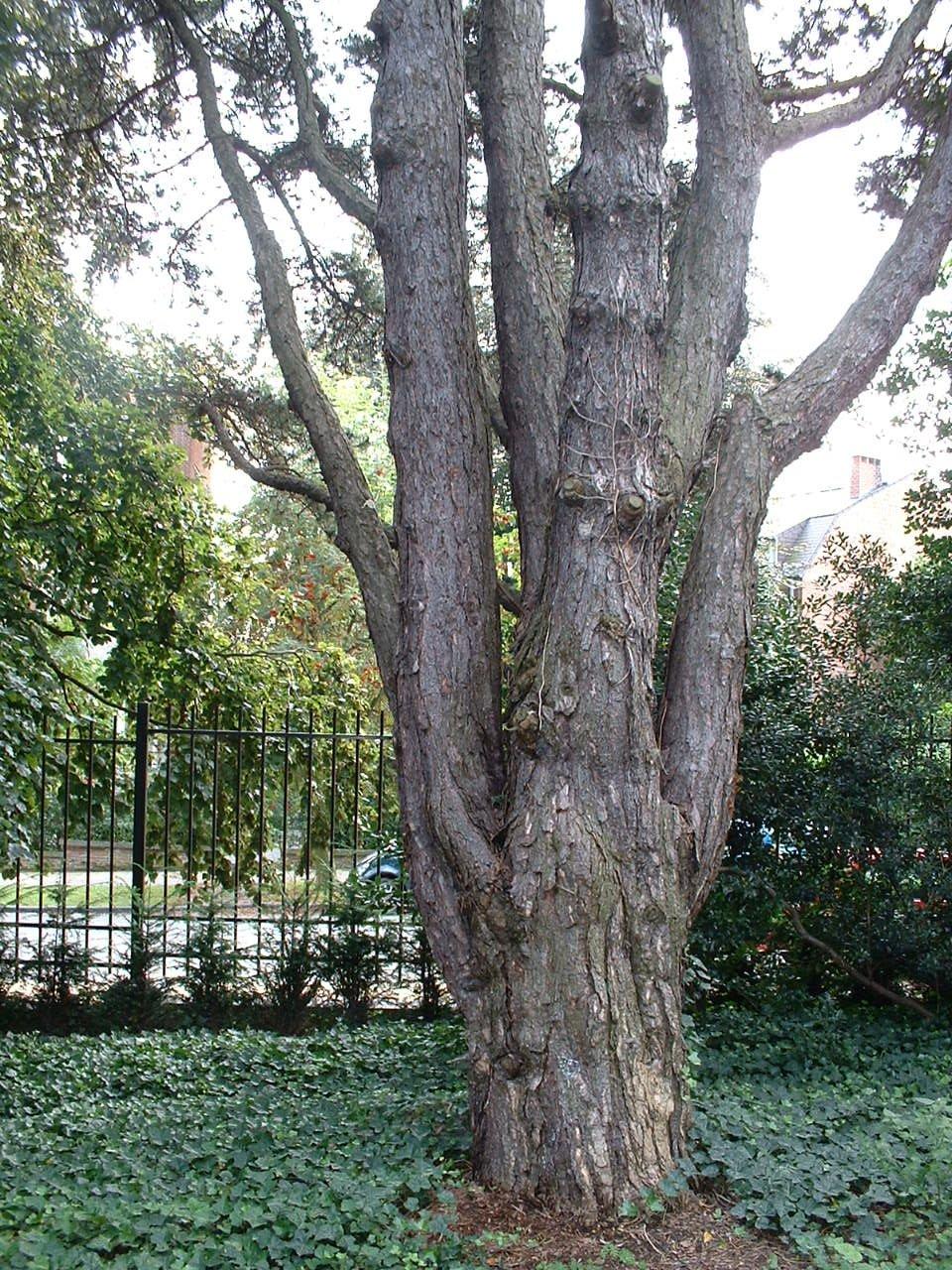 Pin noir – Woluwé-Saint-Pierre, Avenue Jules César, 77 –  22 Août 2002