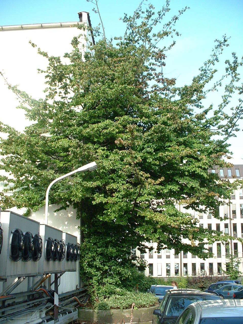 Parrotie de Perse – Saint-Gilles, Chaussée de Charleroi, 116 –  23 Août 2002