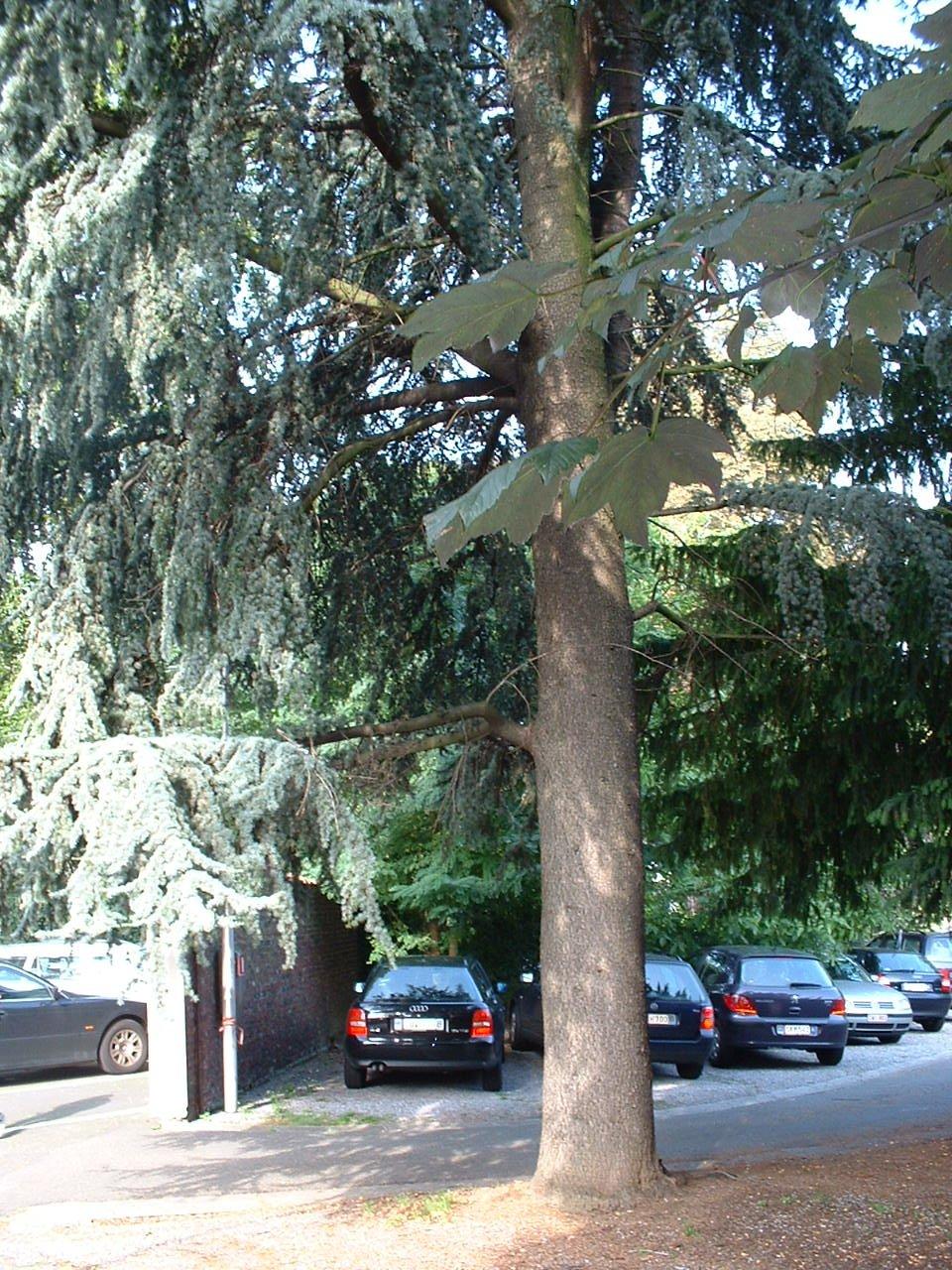 Cèdre bleu de l'Atlas – Saint-Gilles, Chaussée de Charleroi, 116 –  23 Août 2002