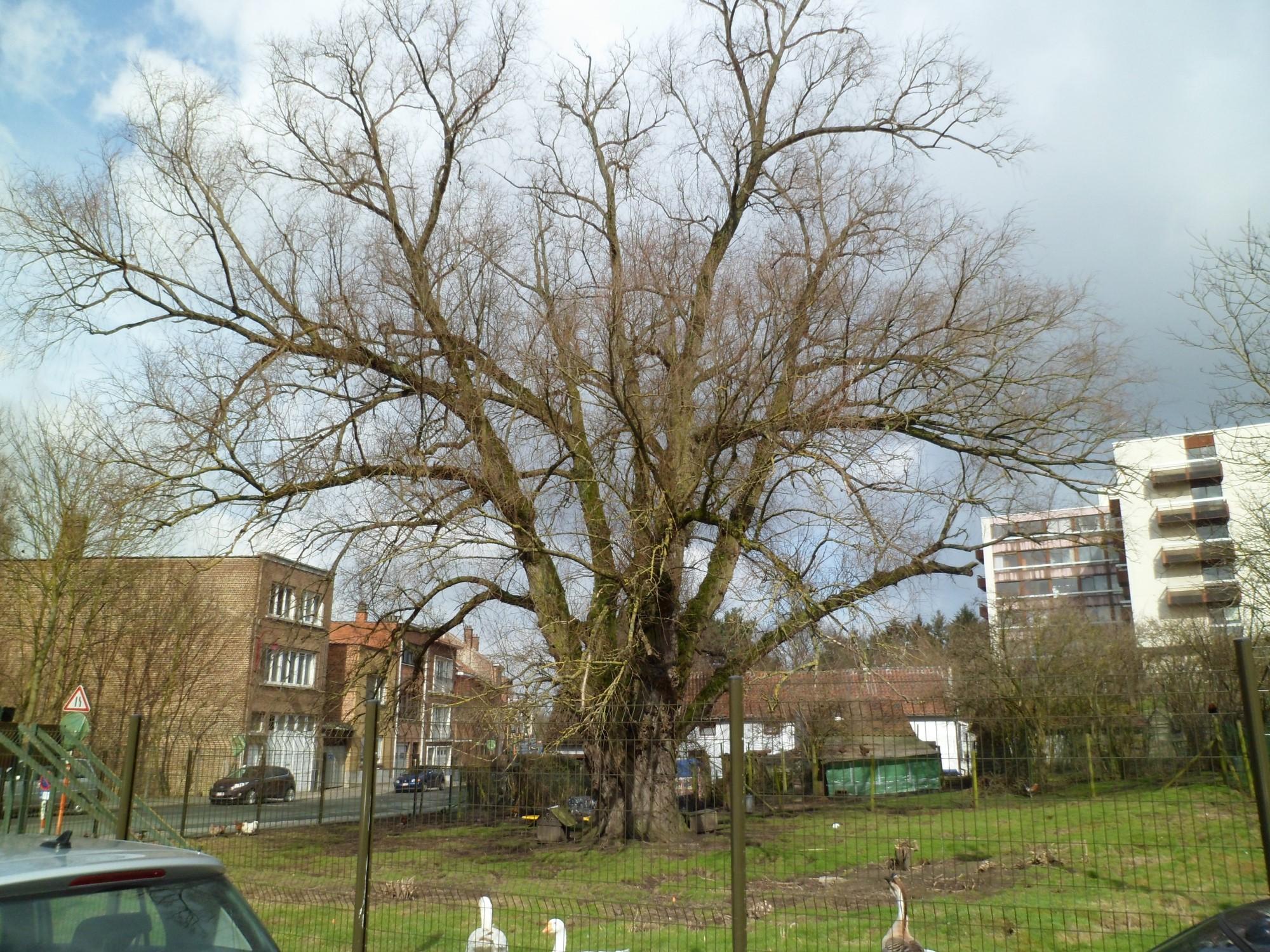 Saule blanc – Berchem-Sainte-Agathe, Sentier du Broek –  14 Mars 2012