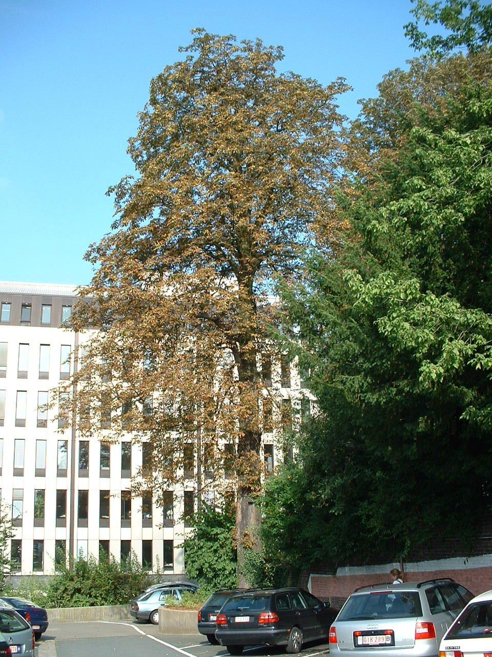 Marronnier commun – Saint-Gilles, Chaussée de Charleroi, 116 –  23 Août 2002