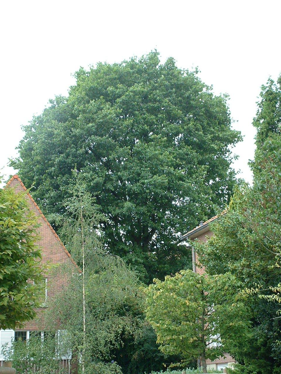 Amerikaanse eik – St.- Pieters - Woluwe, Europaplein, 13 –  23 August 2002