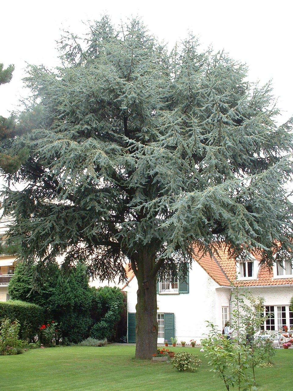 Cèdre bleu de l'Atlas – Woluwé-Saint-Pierre, Avenue du Chant d'Oiseau, 114 –  23 Août 2002
