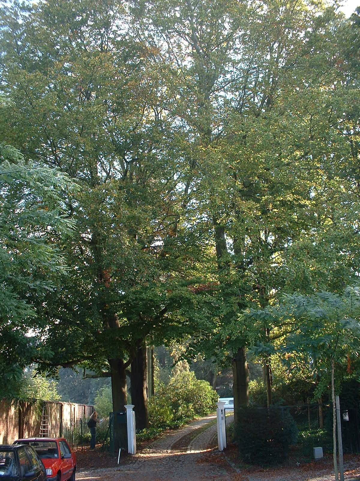 Hêtre d'Europe – Uccle, Avenue Juliette, 20 –  07 Octobre 2002