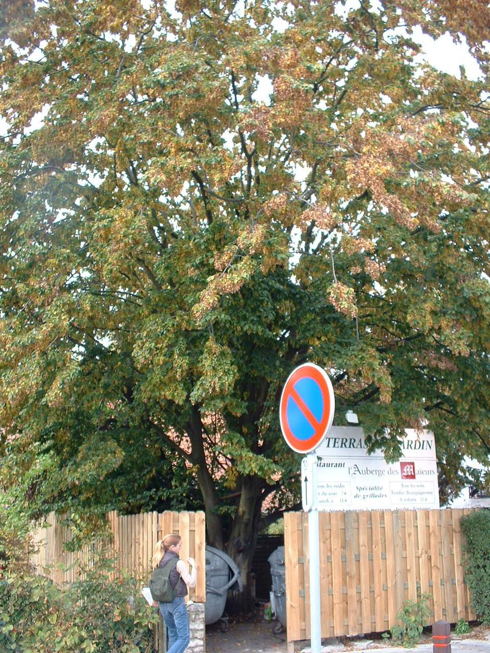 Carpinus betulus f. fastigiata – Woluwé-Saint-Pierre, Rue Louis Thys, 32 –  01 Octobre 2002