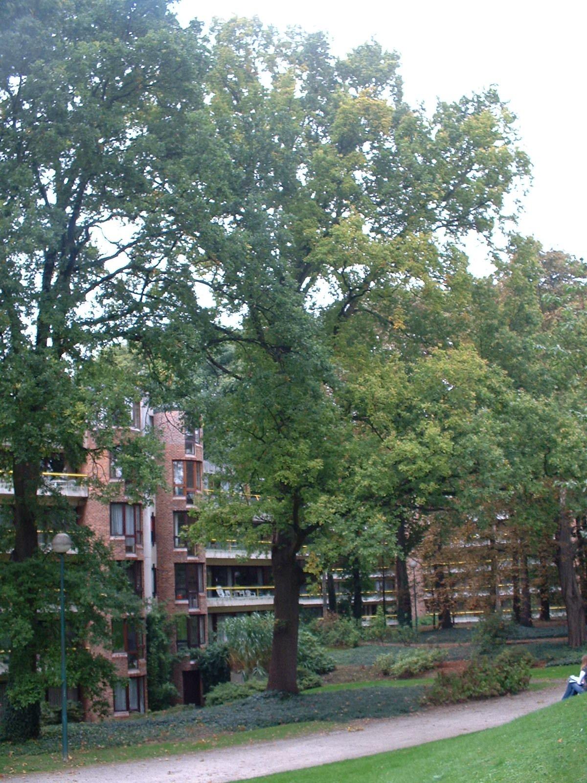 Chêne pédonculé – Woluwé-Saint-Pierre, Rue au Bois, 382 –  02 Octobre 2002