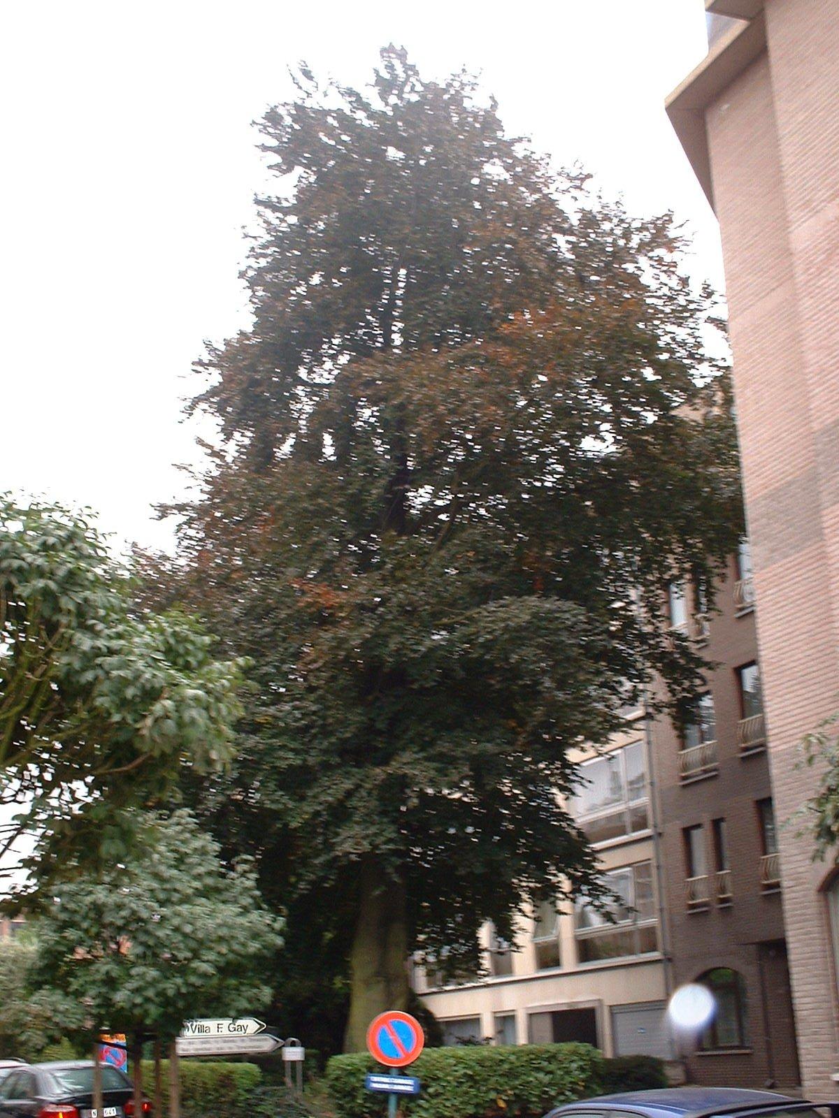 Hêtre pourpre – Woluwé-Saint-Pierre, Rue François Gay, 324 –  03 Octobre 2002