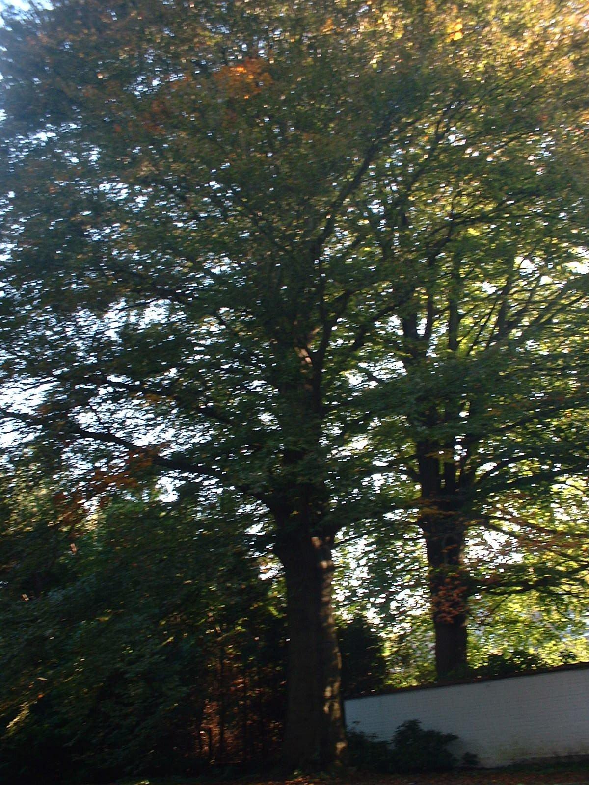 Hêtre pourpre – Woluwé-Saint-Pierre, Avenue de Tervueren, 262 –  04 Octobre 2002
