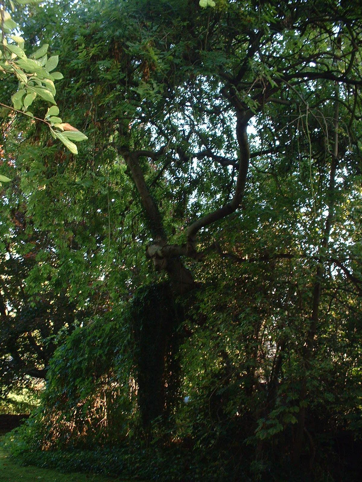 Frêne pleureur – Woluwé-Saint-Pierre, Avenue de Tervueren, 262 –  04 Octobre 2002