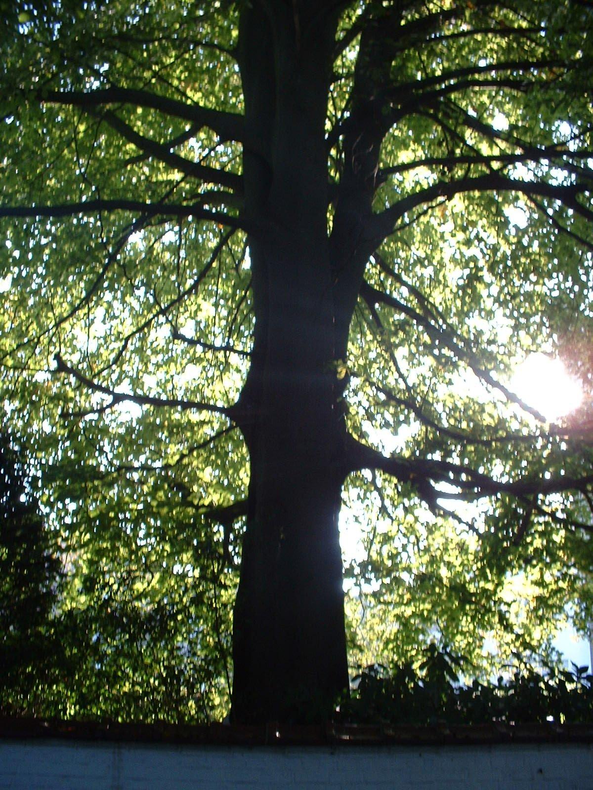 Hêtre pourpre – Woluwé-Saint-Pierre, Avenue de Tervueren, 264 –  04 Octobre 2002
