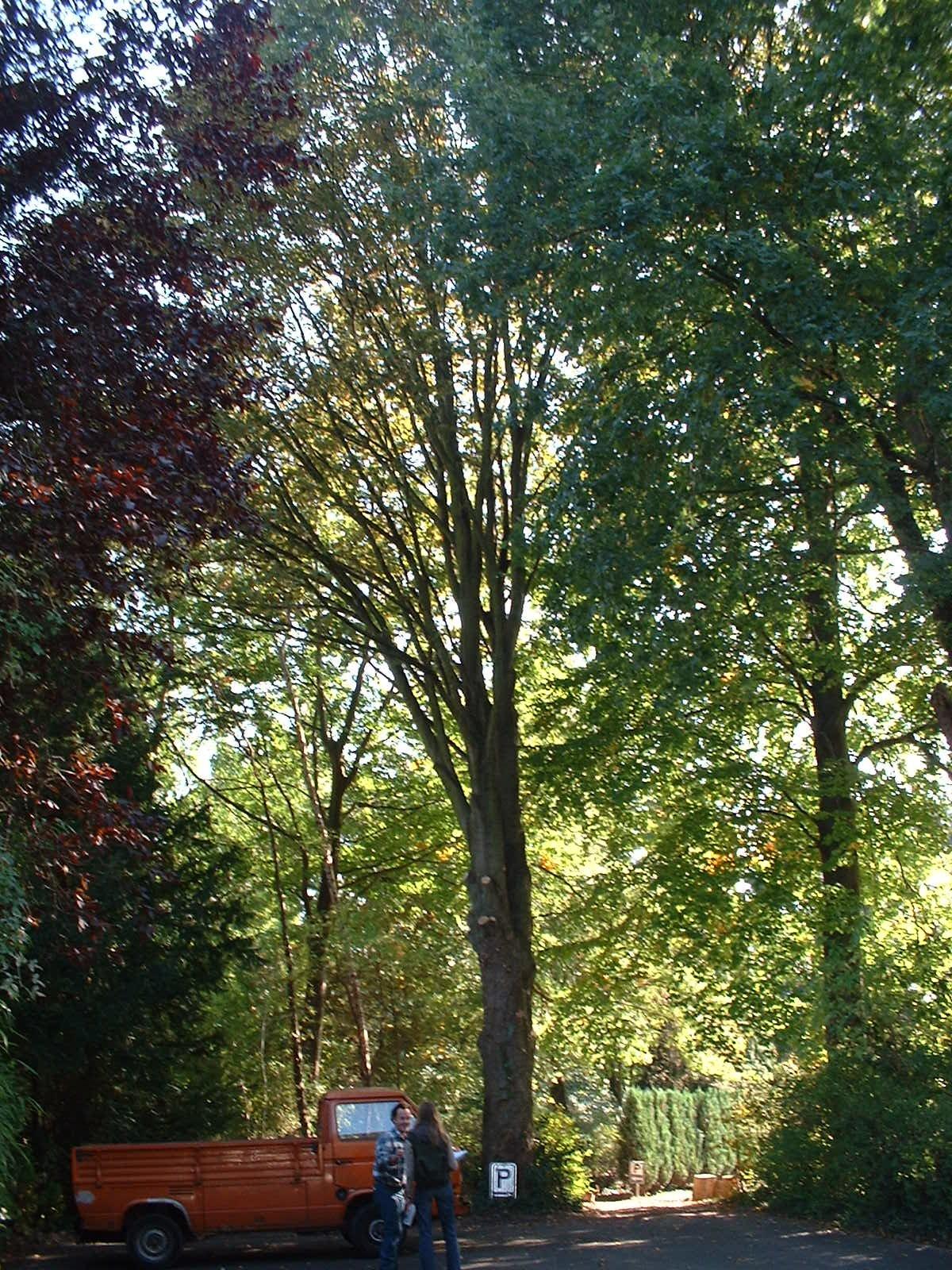 Erable sycomore – Woluwé-Saint-Pierre, Avenue des Franciscains, 3a –  09 Octobre 2002