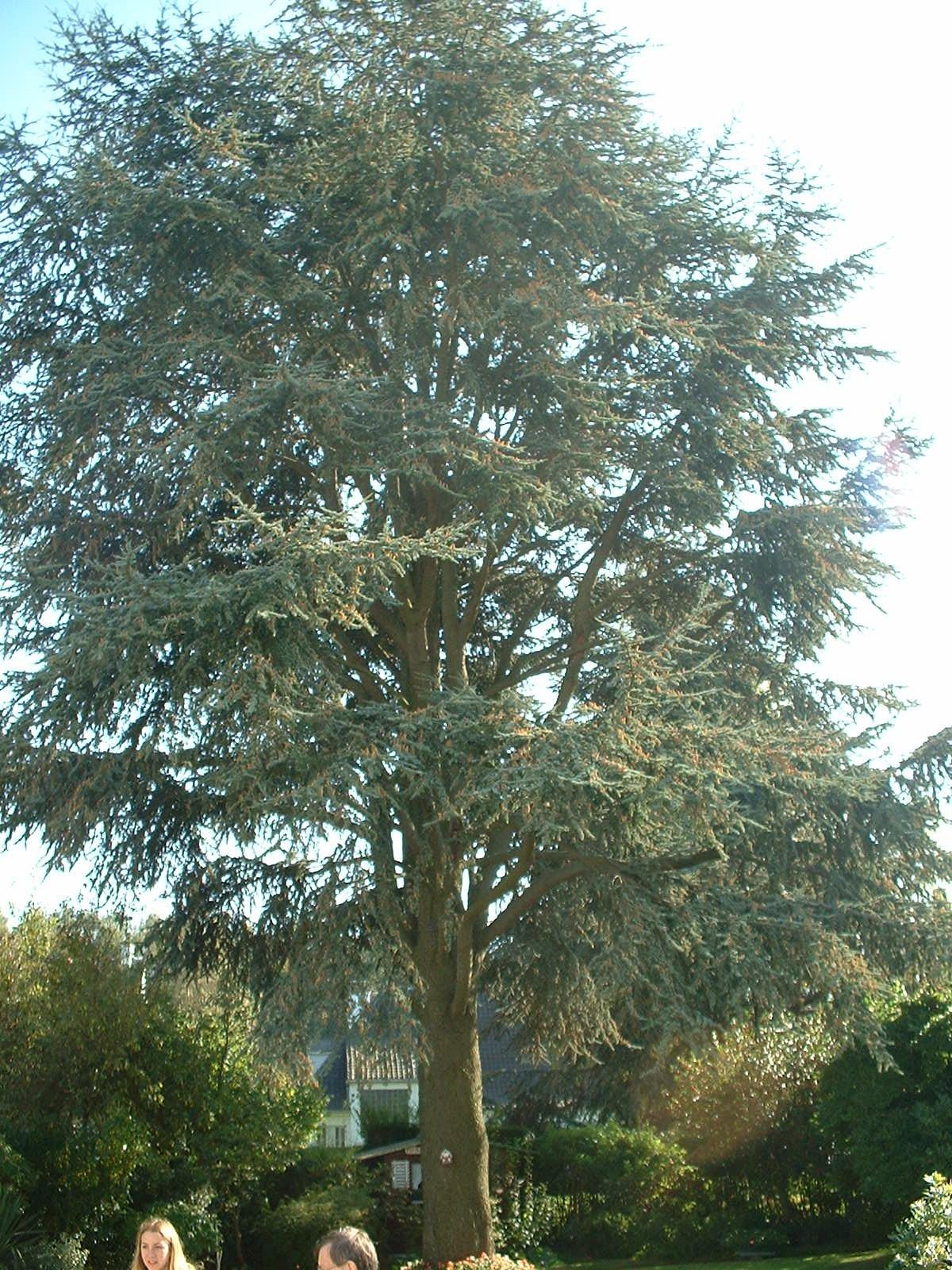 Cèdre bleu de l'Atlas – Woluwé-Saint-Pierre, Avenue des Franciscains, 27 –  09 Octobre 2002