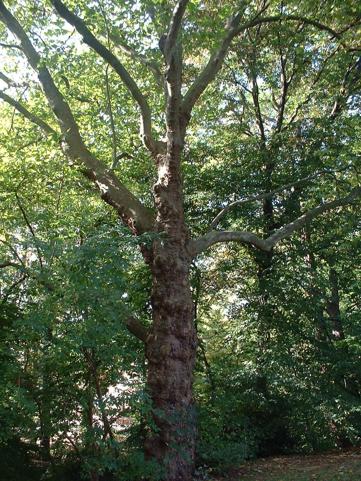 Platane à feuille d'érable – Woluwé-Saint-Pierre, Clos des Acacias, 2 –  10 Octobre 2002