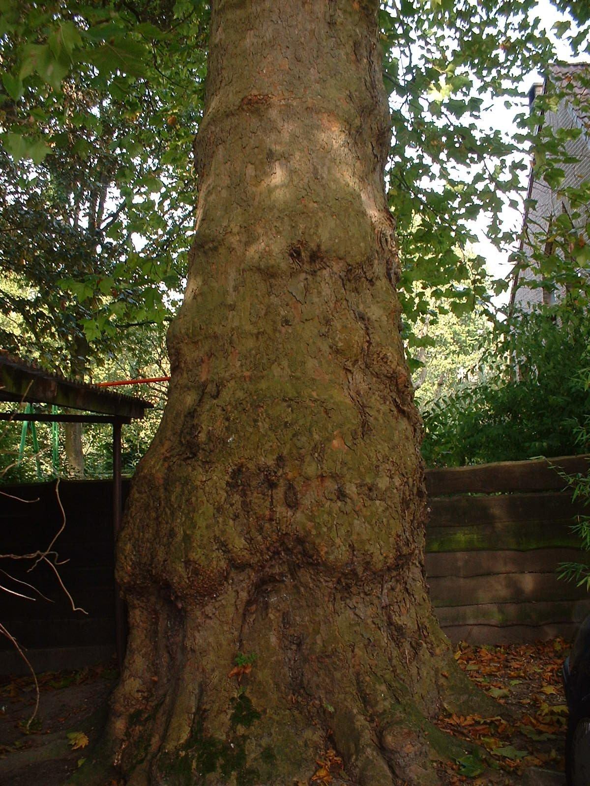 Platane à feuille d'érable – Woluwé-Saint-Pierre, Rue Konkel, 3 –  10 Octobre 2002