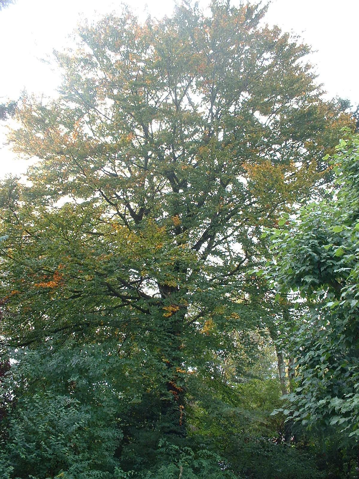 Hêtre pourpre – Woluwé-Saint-Pierre, Avenue du Tennis, 19 –  16 Octobre 2002